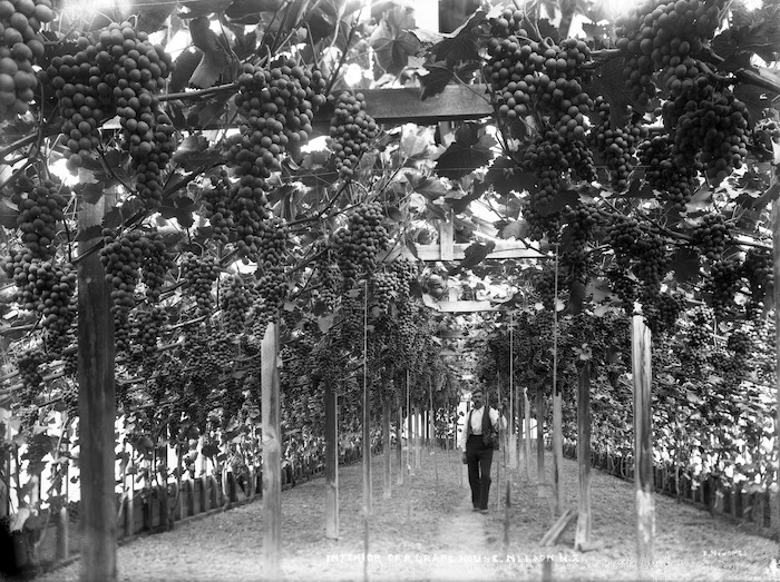 Grapes hanging from vines, Nelson