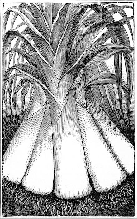 Gilbert J Mackay, seedsman, plant merchant and florist :Leeks. [1915].