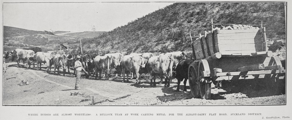 Where horses are almost worthless a bullock team at work carting metal for the Albany-Dairy Flat Road, Auckland district.