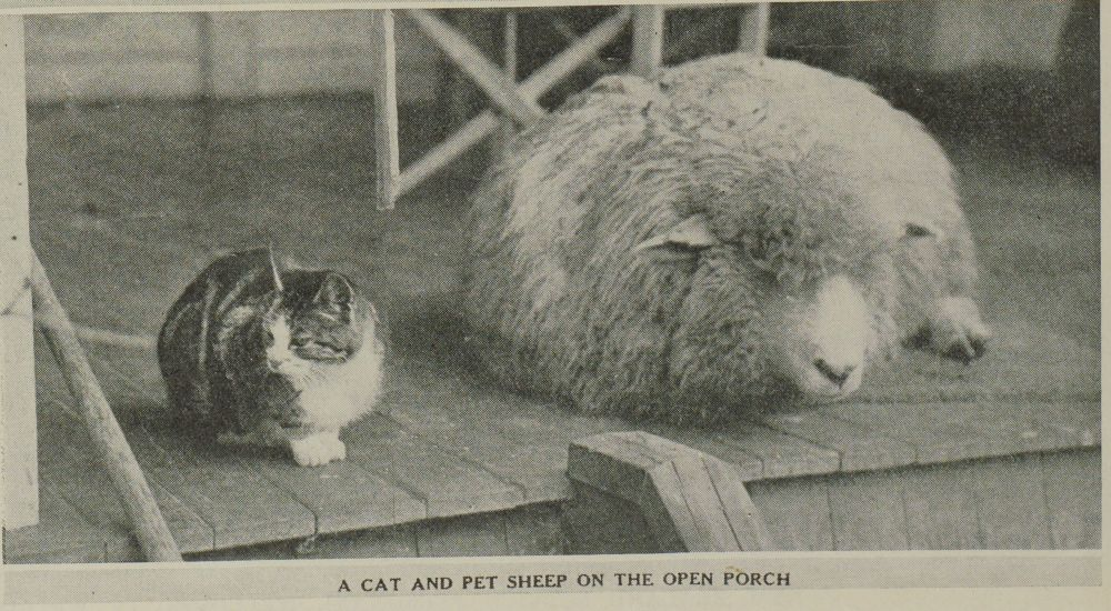 A CAT AND PET SHEEP ON THE OPEN PORCH