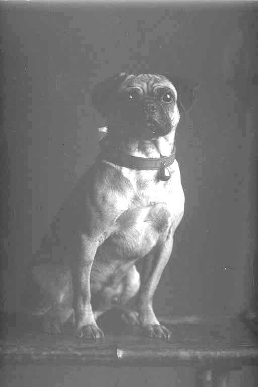 Full portrait of the Watkins' pug dog seated on a stool,....