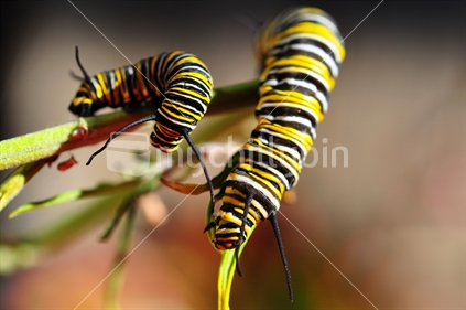 Mature and young Monarch Caterpillar, New Zealand