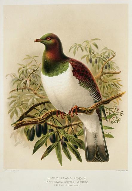 Keulemans, John Gerrard 1842-1912 :New Zealand pigeon. Carpophaga Novae Zealandiae. (one-half natural size). / J. G. Keulemans delt. & lith. [Plate XXIV. 1888]. - Alexander Turnbull Library - Alexander Turnbull Library Flickr