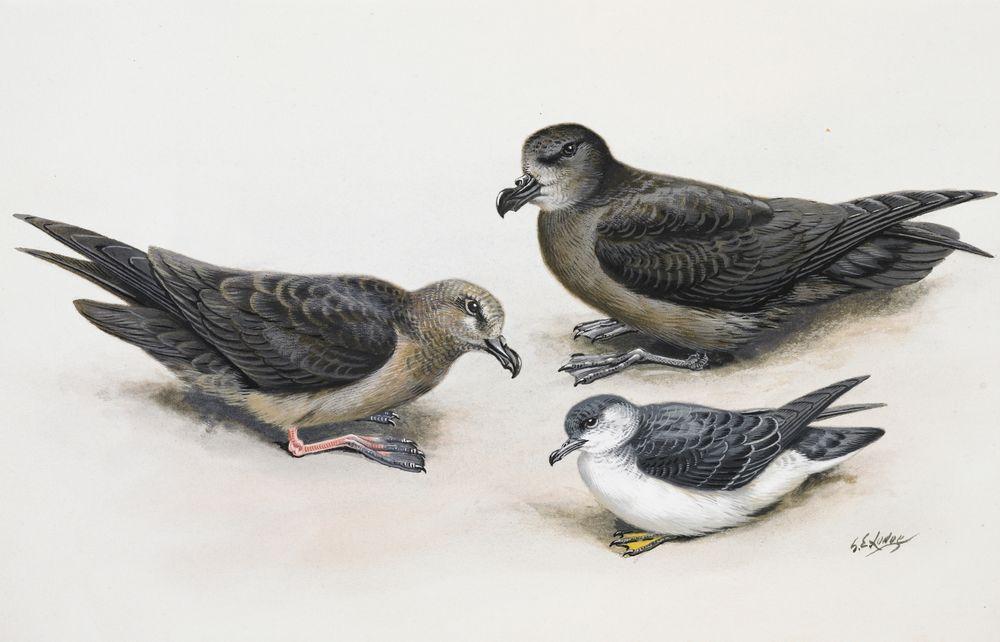 Kermadec Petrel (left) / Grey-faced Petrel (above right) / Subantarctic Little Shearwater