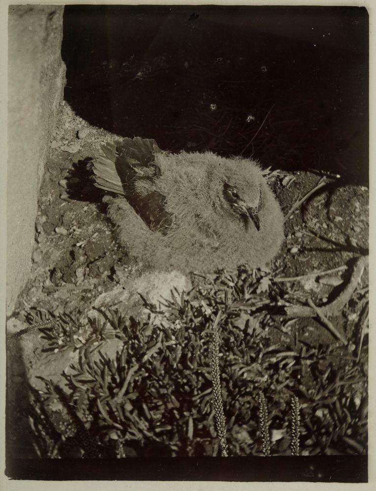Kermadec petrel fledgling
