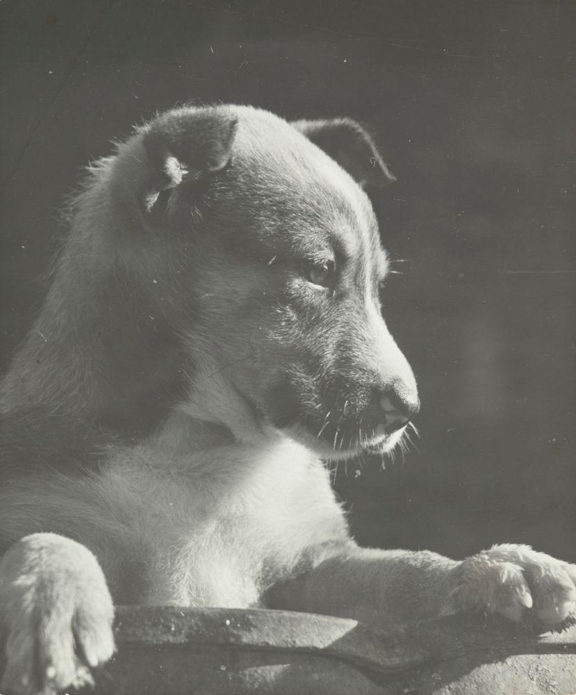 Dog, Northland