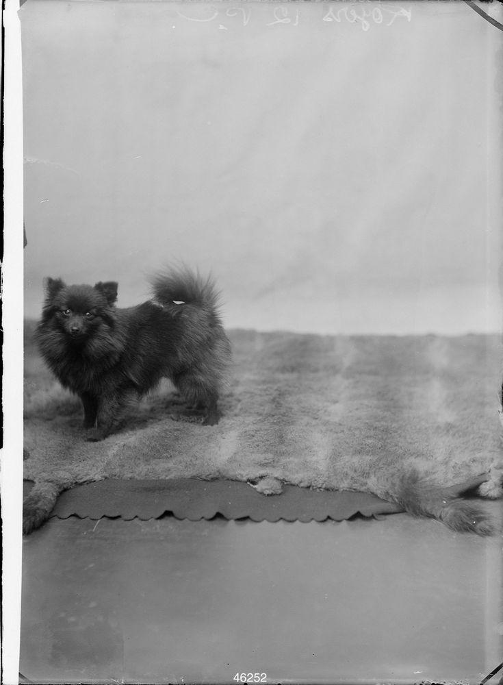 Studio portrait of small dog