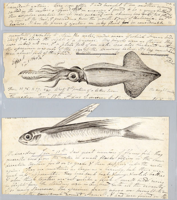 Diary fragments including sketches of flying fish and squid