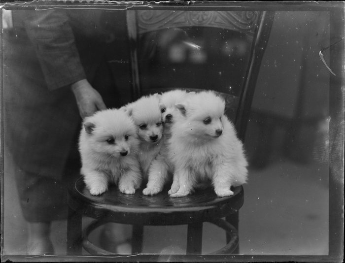 Four [Samoyed?] puppies on a chair