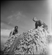 New Zealanders adjust the camouflage netting on their truck just behind the line in Italy, World War II - Photograph taken by George Kaye