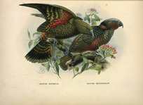 Keulemans, John Gerrard, 1842-1912 :Nestor notabilis. Nestor meridionalis. [Kaka and kea]. London, 1873