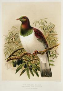 Keulemans, John Gerrard 1842-1912 :New Zealand pigeon. Carpophaga Novae Zealandiae. (one-half natural size). / J. G. Keulemans delt. & lith. [Plate XXIV. 1888].