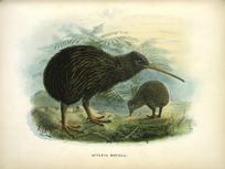 Keulemans, John Gerrard, 1842-1912 :Apteryx Mantelli [North Island kiwi] London, 1873