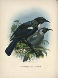 Keulemans, John Gerrard, 1842-1912 :Prosthemadera Novae Zealandiae (Adult and young) [Tui] London, 1873