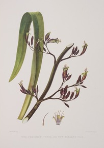 King, Martha 1803?-1897 :The phormium tenax, or New Zealand flax. Drawn by Miss King. [1842] Day & Haghe. London, Smith, Elder [1845]