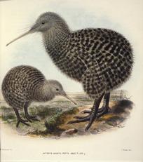 Keulemans, John Gerrard, 1842-1912 :Apteryx haastii. Potts. Adult [male]; juv[enile, female]. / J. G. Keulemans delt. T. Walter, lith. [1876]