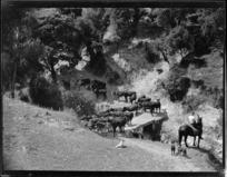 Cows crossing a bridge, Mangamahu