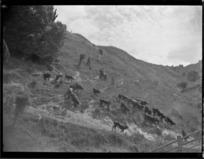 Cows running down hillside, Mangamahu
