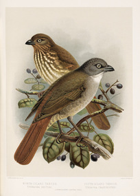 Keulemans, John Gerrard 1842-1912 :North Island thrush - turnagra hectori. South Island thrush - T. crassirostris / J. G. Keulemans delt. & lith. [Plate IV. 1888].