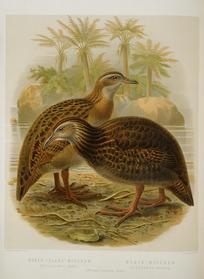 Keulemans, John Gerrard, 1842-1912 :North Island woodhen (ocydromus greyi). Black woodhen (ocydromus fuscus). / J. G. Keulemans delt. & lith. [Plate XXXIV. 1888].