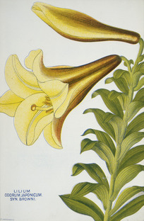 Nairn and Sons, Lincoln Road, Christchurch, N.Z. :Lilium odorum Japonicum. Syn. Browni. 1906.