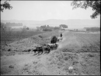 Cattle being driven near Cairo, Egypt - Photograph taken by George Kaye