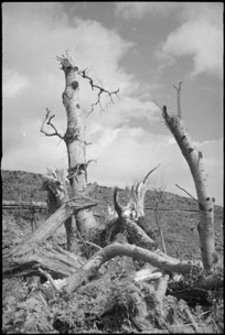 Trees uprooted and smashed by shellfire in the Cassino area in Italy, World War II - Photograph taken by George Kaye