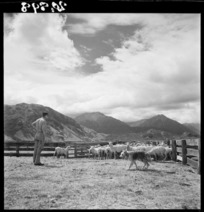 Sheep awaiting dipping at Grasmere Station, near Cass, Canterbury, with mountains in the background