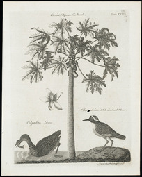 Bell, Andrew, 1726-1809 :Carica, papaw tree, female; colymbus, diver; charadrius, New Zealand plover. A Bell, Prin. Wal. sculptor fecit [ca 1797]