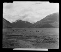 Cattle in paddock near Bealey with mountains in the background, Selwyn District, Canterbury Region