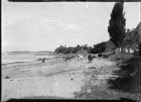 Cows on the beach at Cowes Bay, Waiheke Island