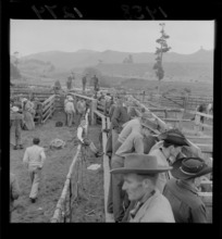 Men looking at the livestock in the stalls at the Raetihi rodeo