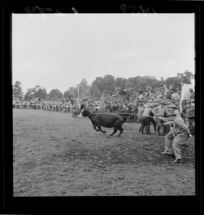 Two unidentified men lasso a charging bull at the Raetihi rodeo
