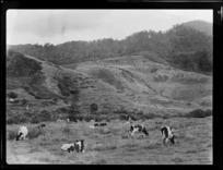 Cows in a paddock, Kuaotunu