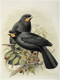 Keulemans, John Gerrard 1842-1912 :Huia (male and female). Heteralocha acutirostris.(Three-fifths natural size). / J. G. Keulemans delt. & lith. [Plate II. 1888].