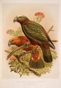 Keulemans, John Gerrard 1842-1912 :Kaka parrot and variety 'kaka-kura' - Nestor meridionalis. (One-half natural size). / J. G. Keulemans delt. & lith. [Plate XVII. 1888].
