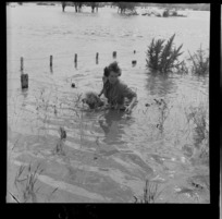 Unidentified woman, submerged to her waist, assisting a sheep through floodwaters, Hutt Valley