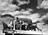 Sheep dogs, Grasmere Station, near Cass, Canterbury Region