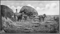 A threshing machine at Temuka