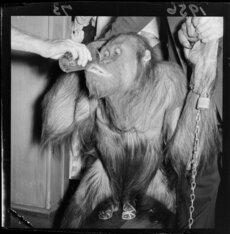 Orangutan Ref: EP/1956/0073-F