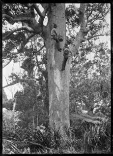Kauri gum climbers