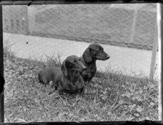 Daschund dogs