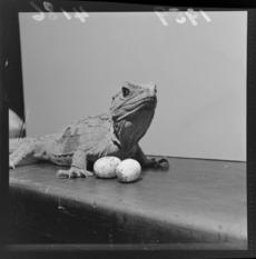 Tuatara and eggs