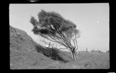 Wind-swept tree at fenceline, location unidentified