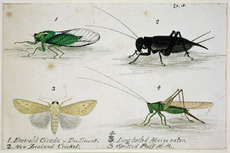 Painting of New Zealand insects