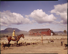 Sheep at Wairakei farm settlement