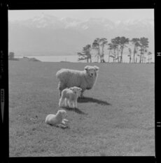 Sheep and lambs, Kaikoura