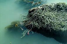 Brown seaweeds