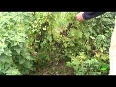 Breeding blackcurrants
