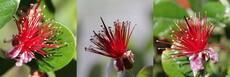 Feijoa fruit tree - Flower (view large)